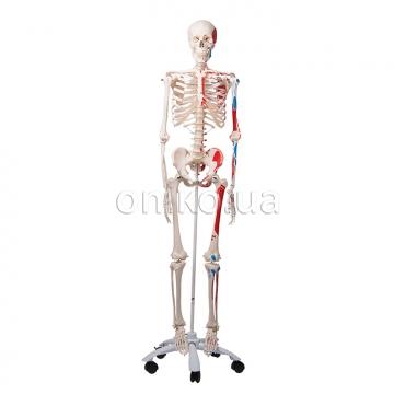 Модель скелета человека 'Макс'. Скелет с мышцами