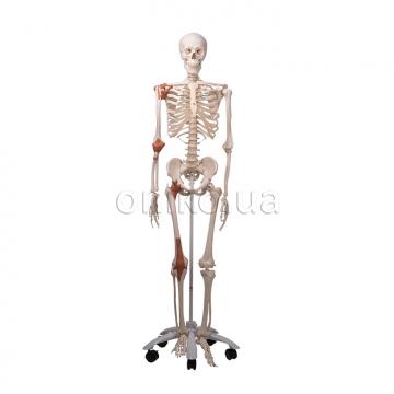 Модель кістяка людини 'Лео' з суглобними зв'язками