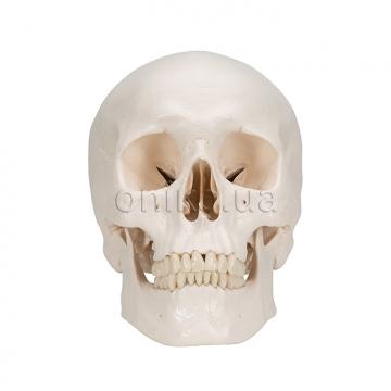 Классический череп с мозгом