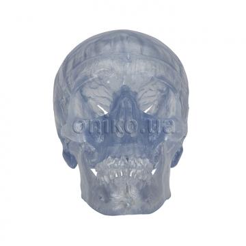 Прозрачный череп