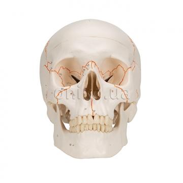 Класичний череп пронумерований