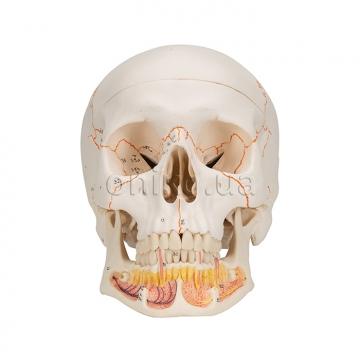 Класичний череп з нижньою щелепою, яка відкривається