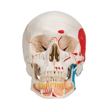 Классический раскрашенный череп с открывающейся нижней челюстью
