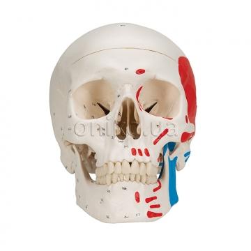 Классический раскрашенный череп