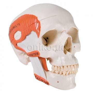 Функціональна модель черепа з жувальними м'язами