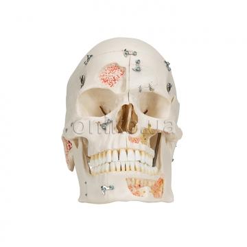 Демонстрационный череп класса люкс