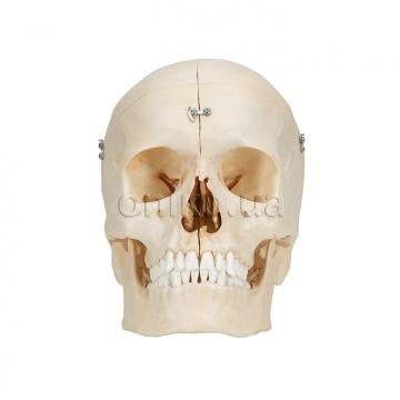 Кістяний череп