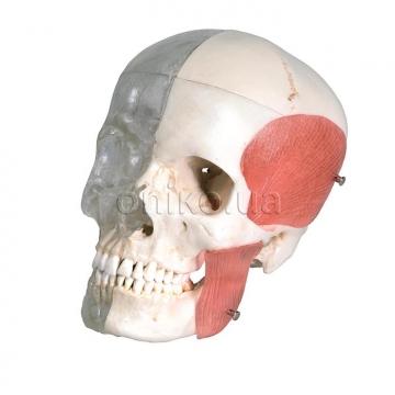 Комбінований прозоро-кістяний череп