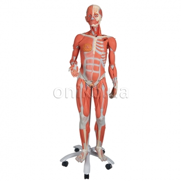 3/4 Life-Size Female Human Muscle Model without Internal Organs on Metal Stand, 23 part