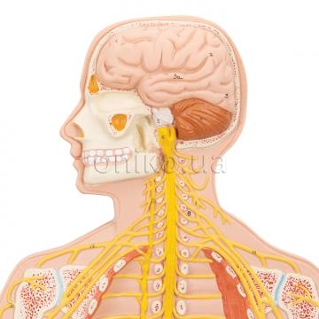 Nervous System Models