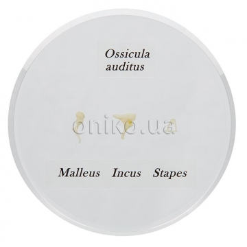 Ossicle Model - Life size