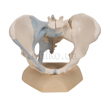 Female pelvis with ligaments, 3-parts