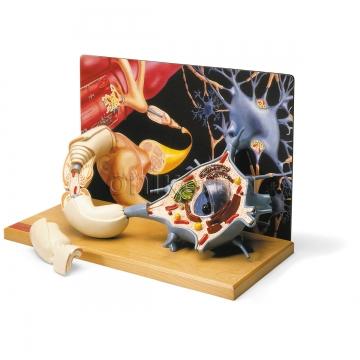 Диорама двигательного нейрона