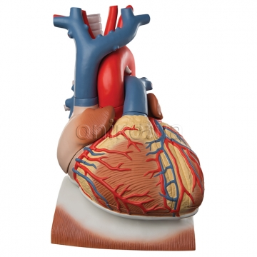 Heart and Diaphragm Model, 3 times Life-Size, 10 part