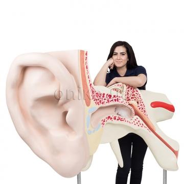 Самое большое ухо в мире