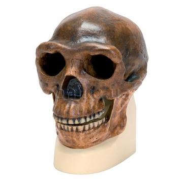 Синантроп. Антропологический череп
