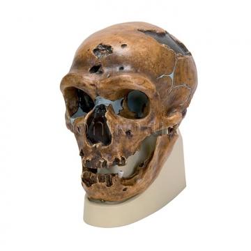 Классический неандерталец ('Ля Шапель о Сент'). Антропологический череп