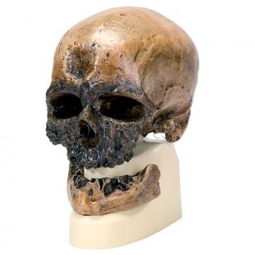 Кроманьонец. Антропологический череп
