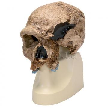 Модель черепа прадавньої людини (останки з 'Штайнхайма') . АЧ.