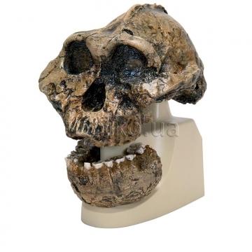 Австралопитек 'Олдован' ('человек умелый'). Антропологический череп