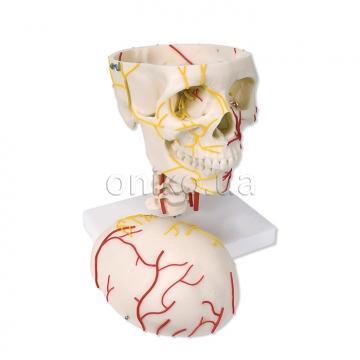 Нервно-сосудистое строение черепа