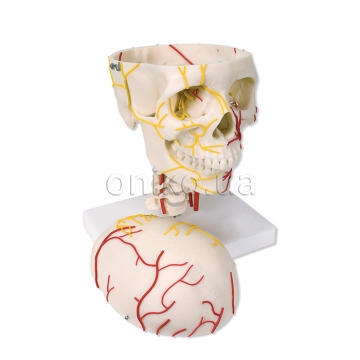 Нервово-судинна будова черепа