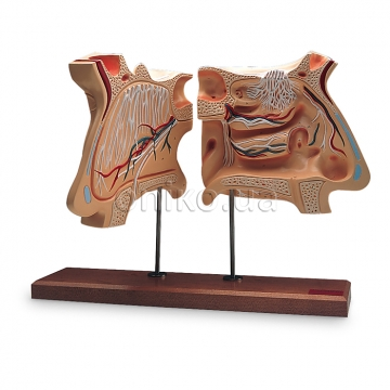 Nose and Olfactory Organ Model, 4 times full-size