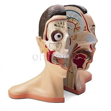 Голова та шия, 5 частин